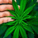 5 Myths about Cannabis you need to debunk
