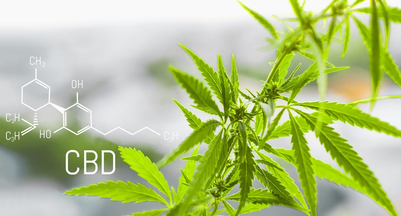 Cannabis plant and the CBD (cannabidiol) for medical use