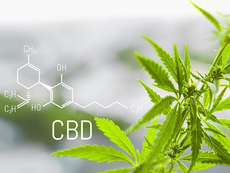 Cannabis plant and the CBD (cannabidiol) for medical use